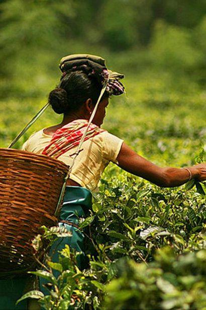 """En el estado de Assam (uno de las """"siete hermanas"""") el arroz y el té son cultivos esenciales."""