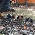 Criar gallinas les aporta beneficios para alimentarse ellas y sus hijos.